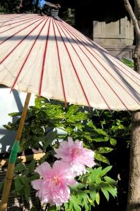 Pivoine sous une ombrelle