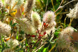 Variété d'herbe aux pieds des vignes