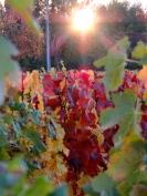Vignes rougeoyantes