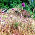 fleurs-haute-loire