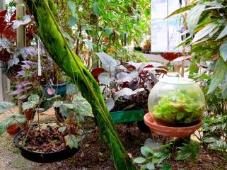 conservatoire-begonia-rochefort01