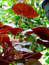 conservatoire-begonia-rochefort02