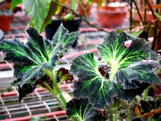conservatoire-begonia-rochefort03