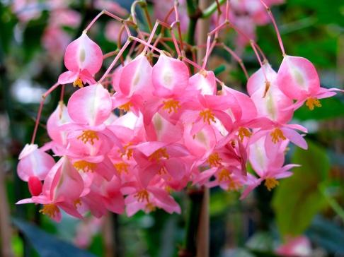 conservatoire-begonia-rochefort04