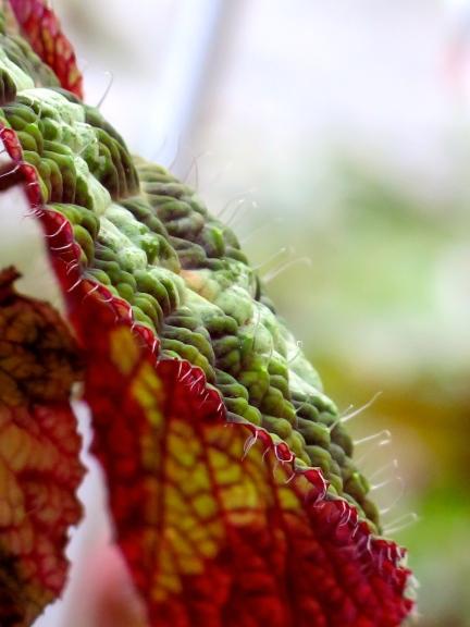 conservatoire-begonia-rochefort08