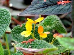 conservatoire-begonia-rochefort09