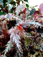 conservatoire-begonia-rochefort10
