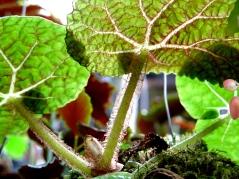 conservatoire-begonia-rochefort11