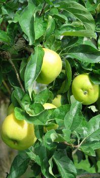 Pommes Lot-et-Garonne